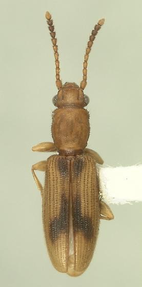 Cryptamorpha desjardinsii (Guérin-Méneville) - Cryptamorpha desjardinsii
