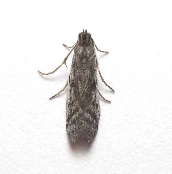 Pyralidae, in the house, maybe Phycitodes reliquellum, dorsal - Phycitodes reliquellum