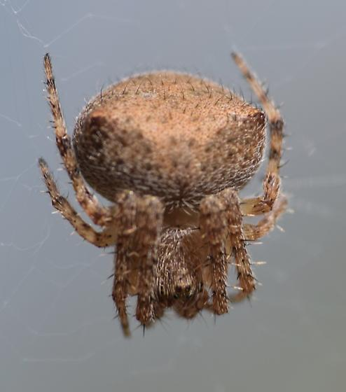 Spider in garden - Araneus