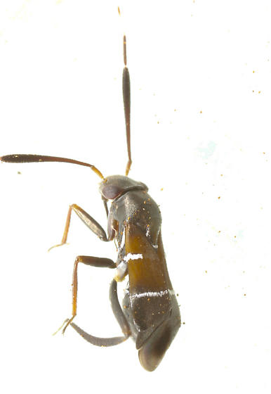 Unknown Hemiptera - Pilophorus