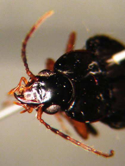 unknown Carabidae - Loxandrus
