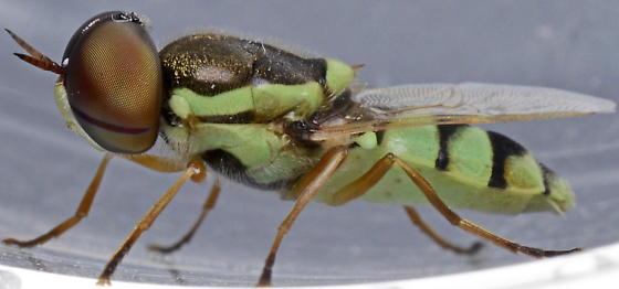 Odontomyia cincta