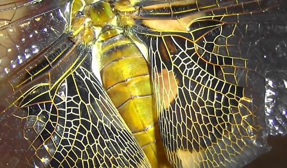 Dragonfly Body Scan - Red Saddlebags (wing pattern) - Tramea onusta - female