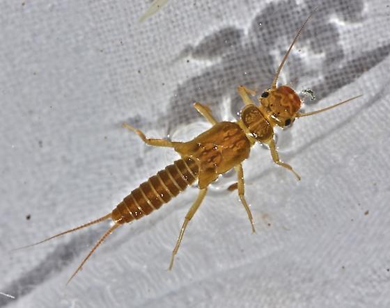 Perlodid stonefly, Isoperla similis - Isoperla similis