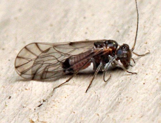 Psocid - Lachesilla nubilis - male