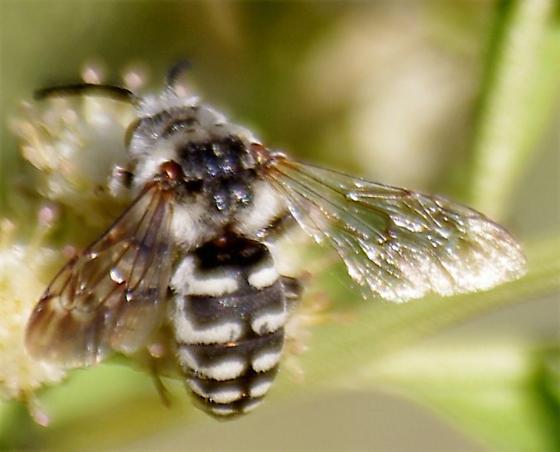 white striped bee - Xeromelecta californica - male