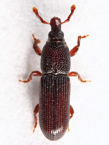 weevil - Cossonus corticola