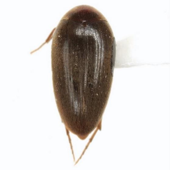 Eucinetus morio LeConte - Eucinetus morio