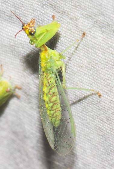 2018-09-07 Red-antennaed green mantidfly - Zeugomantispa minuta