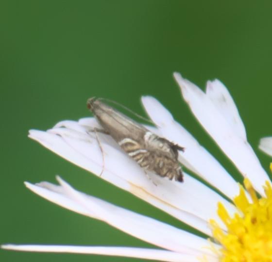Small, tan moth - Glyphipterix montisella