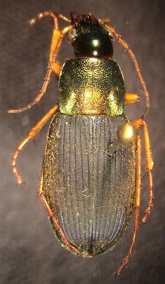 Chlaenius emarginatus - female