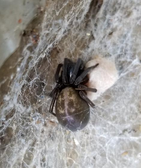 Black spider with egg sac - Amaurobius ferox - female