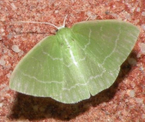 green moth - Synchlora aerata