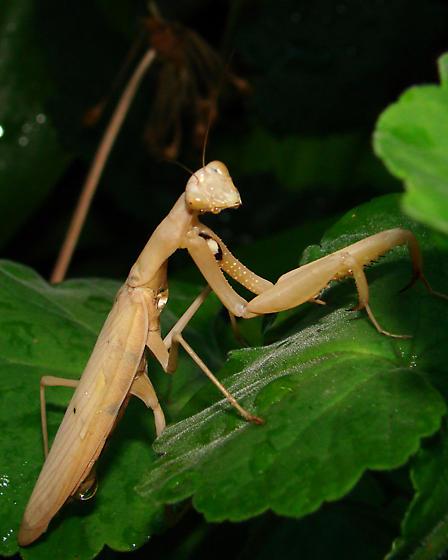 European Mantis (Mantis religiosa) - Mantis religiosa - male