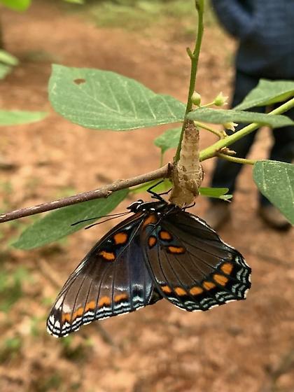 butterfly i.d. - Limenitis arthemis