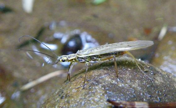 Perlodid stonefly