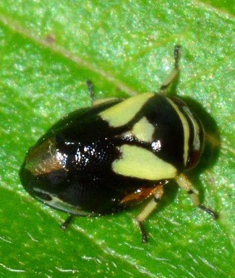 Spittlebug? - Clastoptera proteus