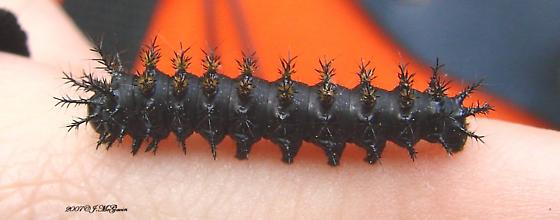 Spiny Caterpillar - Hemileuca maia