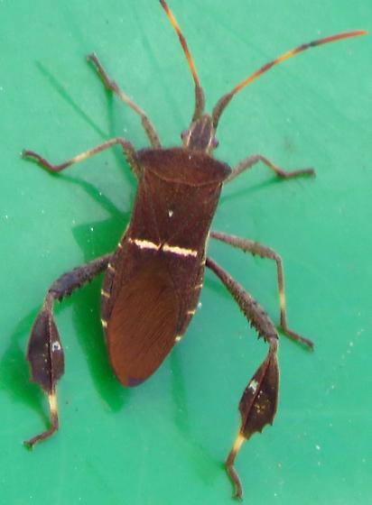bug on John Deere - Leptoglossus phyllopus
