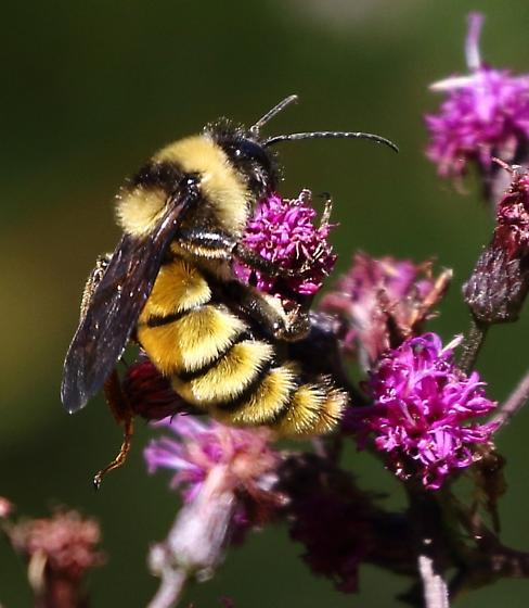 large bumblebee - Bombus pensylvanicus