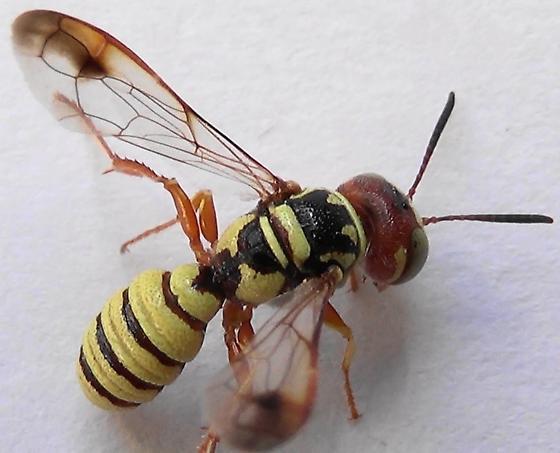Wasp-scan Mr. E. to see Dr. A. (dorsal abdomen) - Eucerceris - male