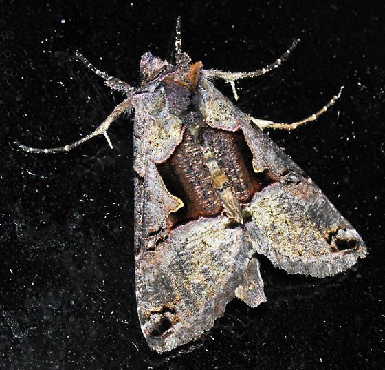 Black-spot Moth - Autographa ampla