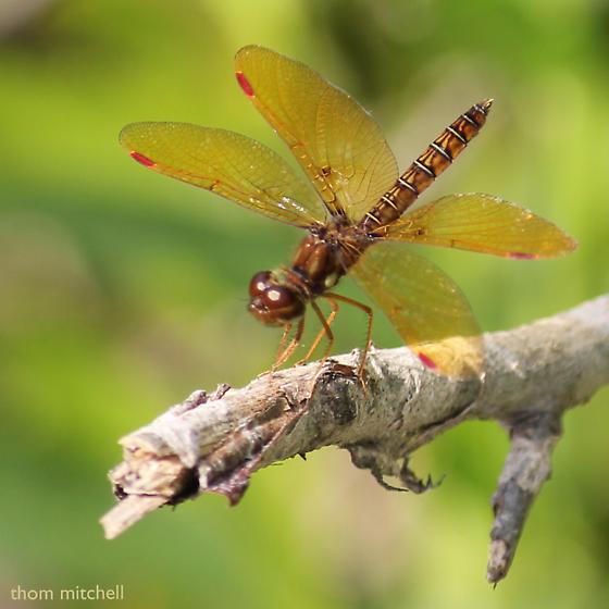 Eastern amberwing – Perithemis tenera (male)? - Perithemis tenera - male