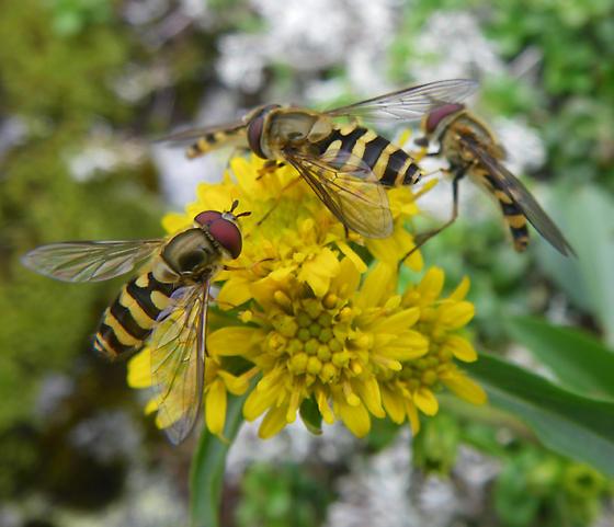 flies on Solidago Cutleri, Alpine Garden, Mt. Washington - Syrphus