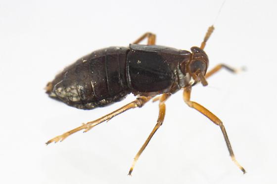 Pissonotus marginatus - female