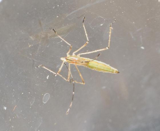 stilt bug -  Neoneides muticus ?