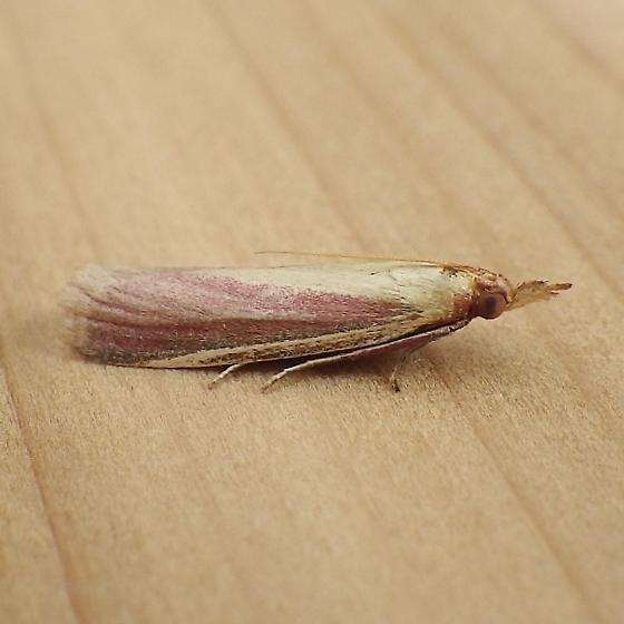 Pyralidae: Peoria approximella - Peoria approximella
