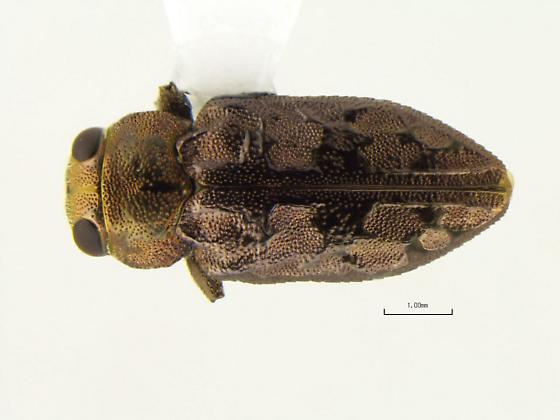 Chrysobothris speculifer - male