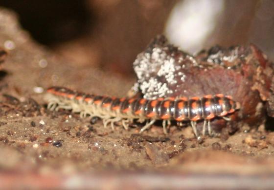 Unknown cavernicolous millipede (Image #1) - Auturus evides