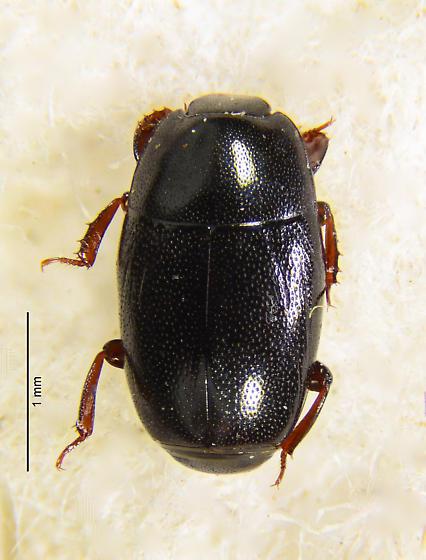 Hister beetle Platylomalus? - Paromalus debilis