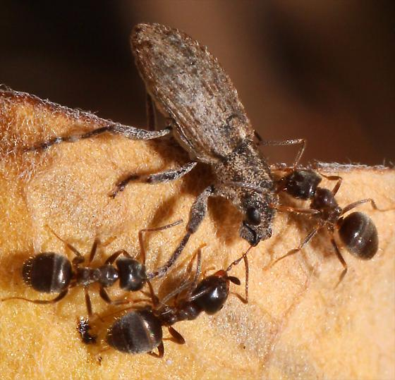 Weevil in a fight with ants - Sitona californius