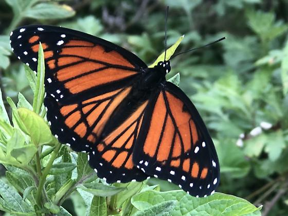Monarch - Limenitis archippus