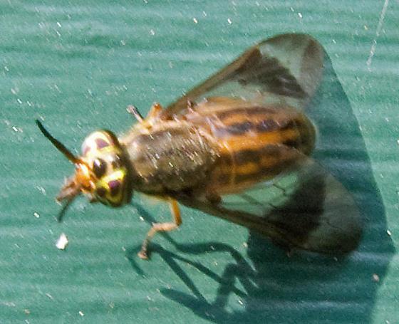 Chrysops vittatus - Chrysops lateralis - female