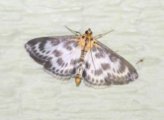 Small Magpie - Anania hortulata