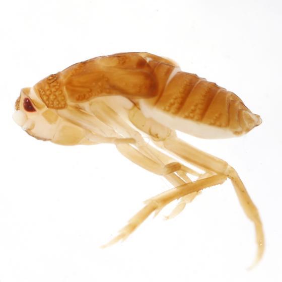 Paralixes scutatus (Walker)