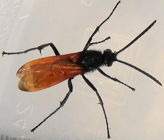 Spider Wasp Wingman - Hemipepsis ustulata - male