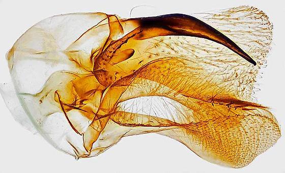 genitalia - Limnaecia phragmitella - male