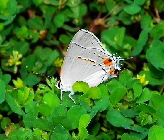 Gray Hairstreak (Strymon melinus) - Strymon melinus