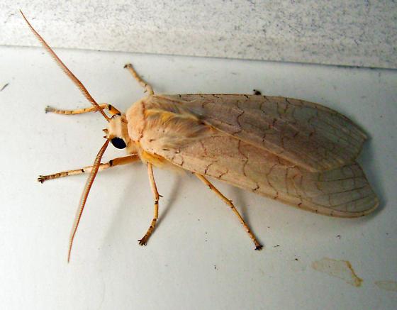 8203 (un)Banded Tussock Moth - Halysidota tessellaris