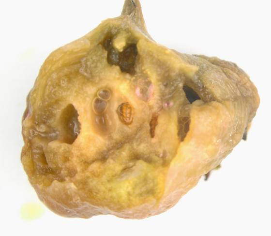 Cecidomyiidae on Jewelweed - Schizomyia impatientis