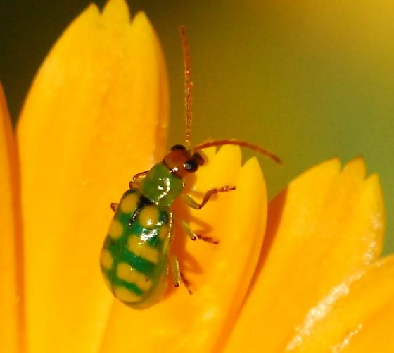 Banded cucumber beetle for California in February - Diabrotica balteata