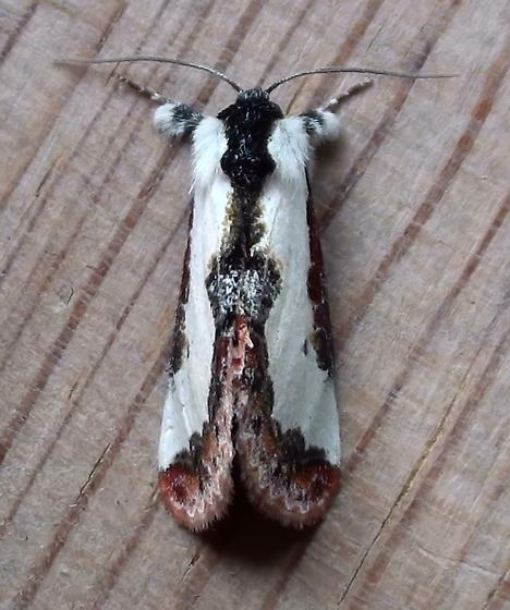 Noctuidae: Eudryas unio - Eudryas unio