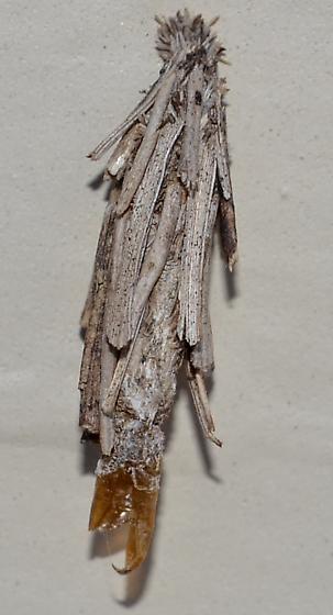 Unknown Bagworm - Astala confederata - male