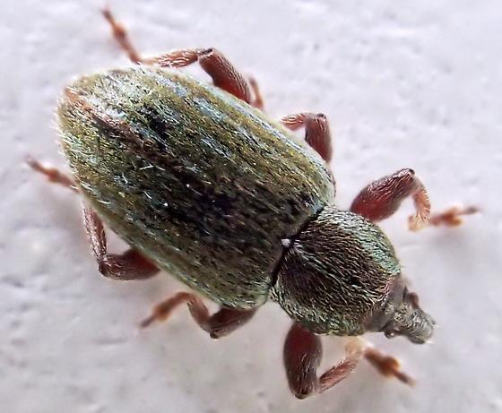 Hypera nigrirostris