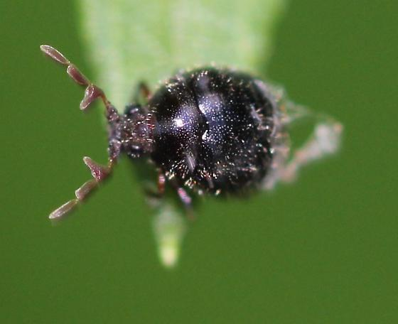 tiny beetlw with branched antennae - Caenocara