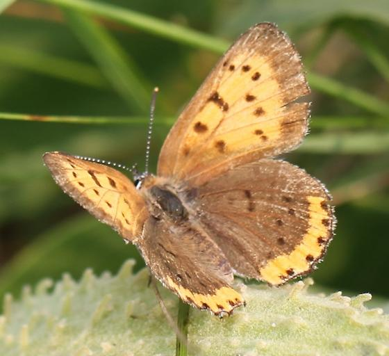 Lycaena hyllus? - Lycaena hyllus - female